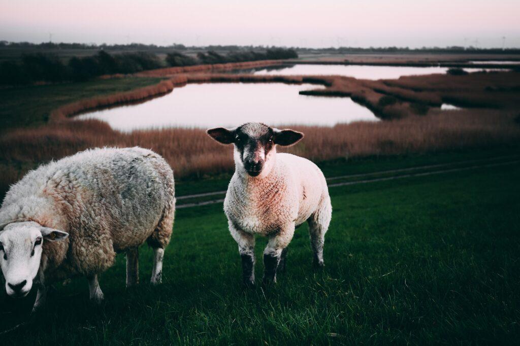 Zwei Schafe auf einer Weide